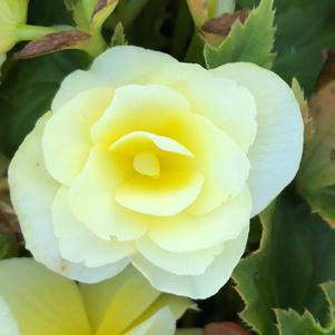 Begonia 'Yellow(P)'