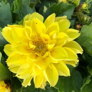 Dahlia 'Medio Yellow(P)'