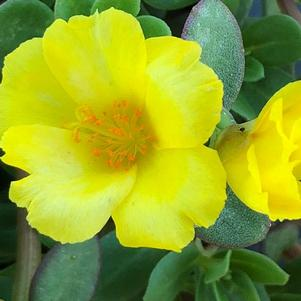 Portulaca (Purslane) 'Cupcake Upright Lemon Zest'