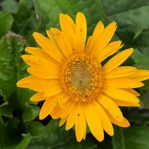 Gerbera 'Sweet Smile'