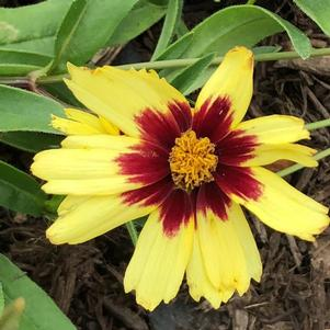 Coreopsis 'Super Star'