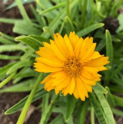 Coreopsis 'Double the Sun (seed)'