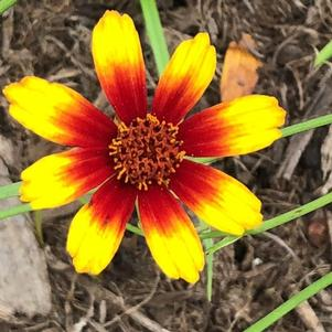 Coreopsis 'Satin & Lace™ Red Tapestry'