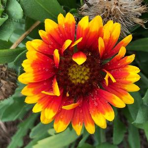 Gaillardia 'Spintop Red Starburst'