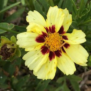 Coreopsis 'Little Bang™ Starbright'