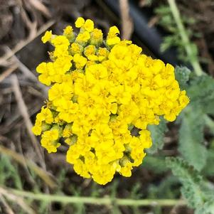 Achillea 'Little Moonshine (ACBZ0002)'