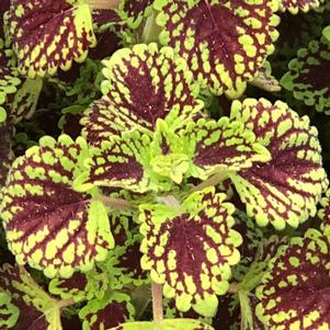Coleus (Solenostemon) 'Chocolate Drop'