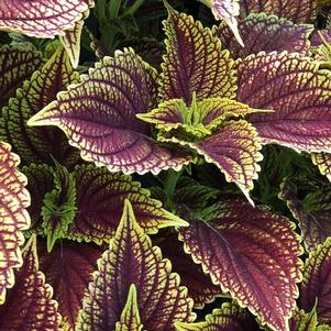 Coleus (Solenostemon) 'Golden Dreams™'