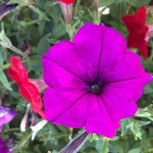 Petunia 'South Beach Mix Imp (seed)'