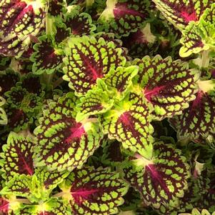 Coleus (Solenostemon) 'Strawberry Drop'