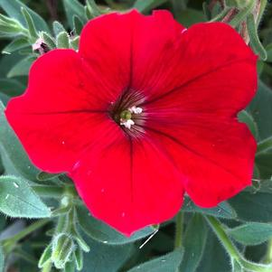 Petunia 'The Flag Mix Imp (seed)'