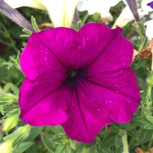 Petunia 'Great Lakes Mix Imp (seed)'