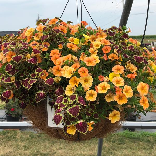 Combinations - Hanging Basket 'Outback Safari'