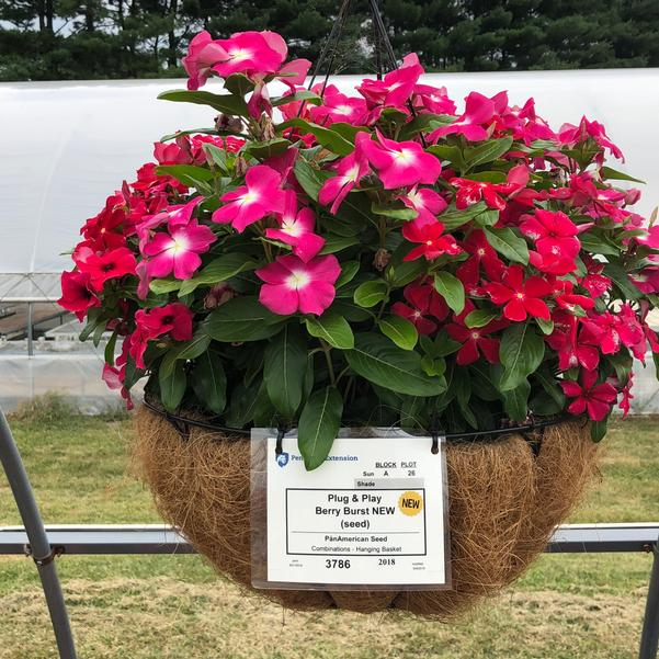 Combinations - Hanging Basket 'Berry Burst (seed)'