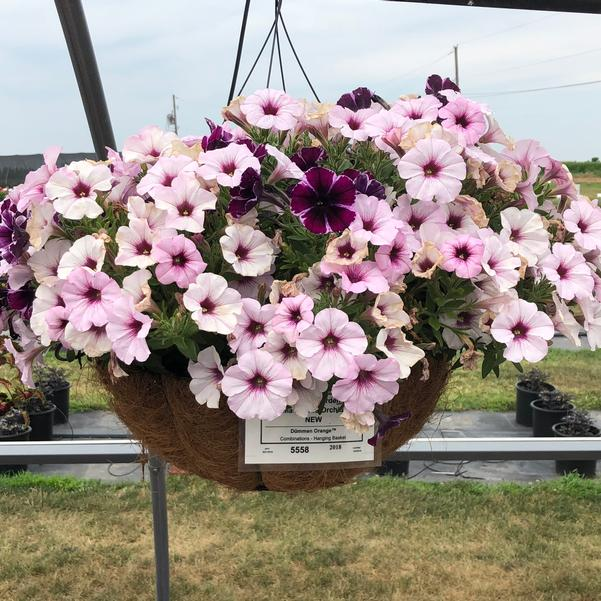 Combinations - Hanging Basket 'Marvelous Orchid'
