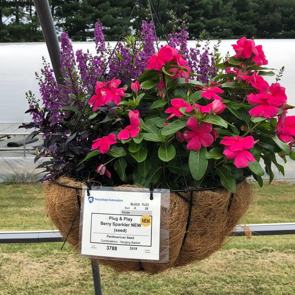 Combinations - Hanging Basket 'Berry Sparkler (seed)'