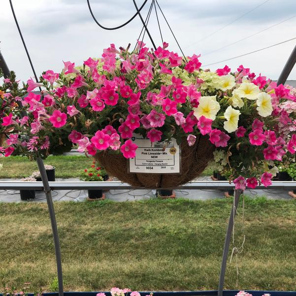 Combinations - Hanging Basket 'Pink Limeaide™ Mix'