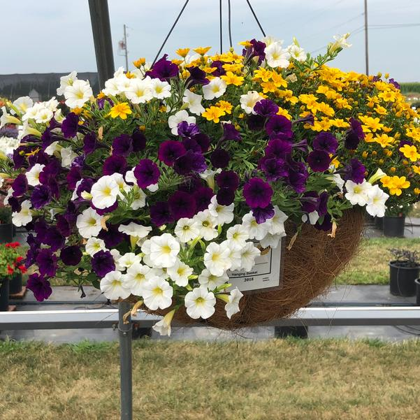 Combinations - Hanging Basket 'Sunny Days™'
