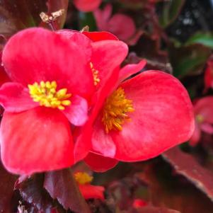 Begonia 'Red (seed)'