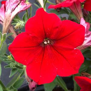 Petunia 'Red Imp (seed)'