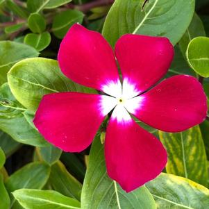 Vinca (Catharanthus) 'Burgundy Halo (seed)'
