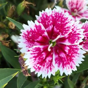 Dianthus 'Floral Lace™ Picotee Imp (seed)'