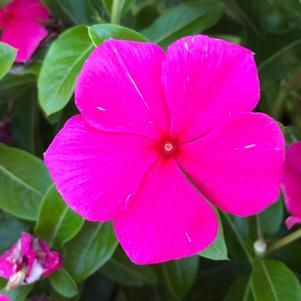 Vinca (Catharanthus) 'Punch (seed)'