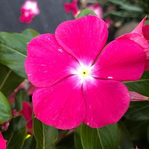 Vinca (Catharanthus) 'Rose (seed)'