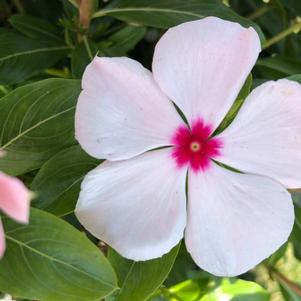 Vinca (Catharanthus) 'Apricot (seed)'