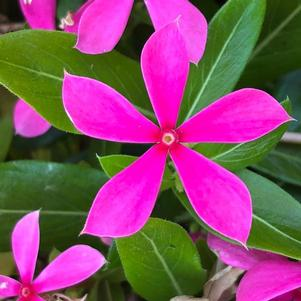 Vinca (Catharanthus) 'Pink'