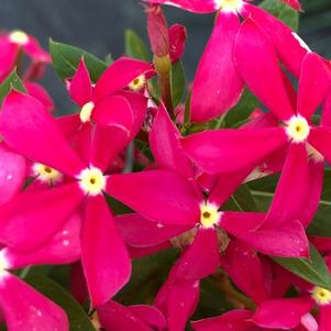 Vinca (Catharanthus) 'Coral'