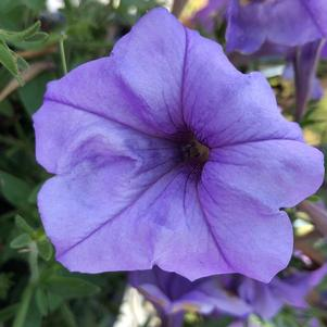 Petunia 'Evening Scentsation™ (seed)'