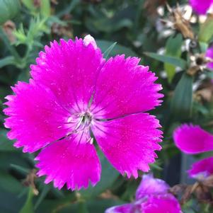 Dianthus 'Floral Lace™ Lilac (seed)'