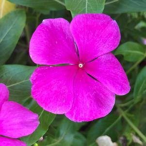 Vinca (Catharanthus) 'Lilac (seed)'