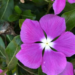 Vinca (Catharanthus) 'Orchid (seed)'