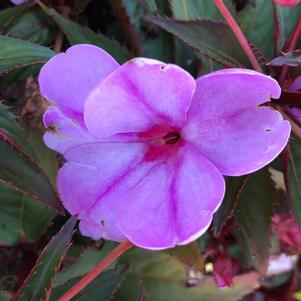 Impatiens - New Guinea 'Sun Harmony™ Blushing Orchid'