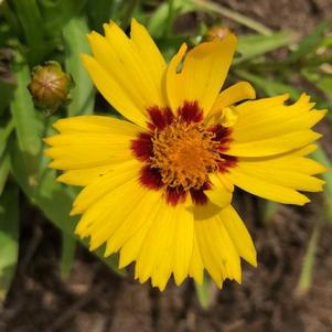 Coreopsis 'SunKiss (seed)'