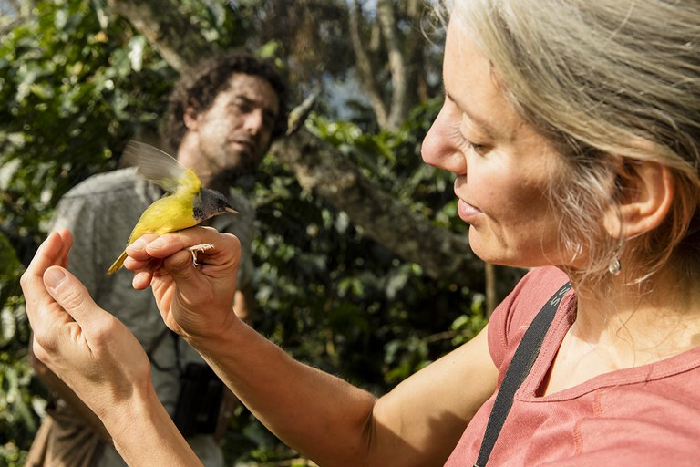 Amanda Rodewald, the Garvin Professor of Ornithology and director of conservation science at the Lab of Ornithology, examines a mourning warbler caught in one of her mistnets on a shade coffee farm in Jardin, Colombia. Photo by Cornell Lab of Ornithology