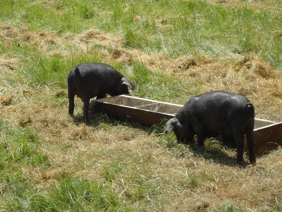 Pigs at Rodale 2012