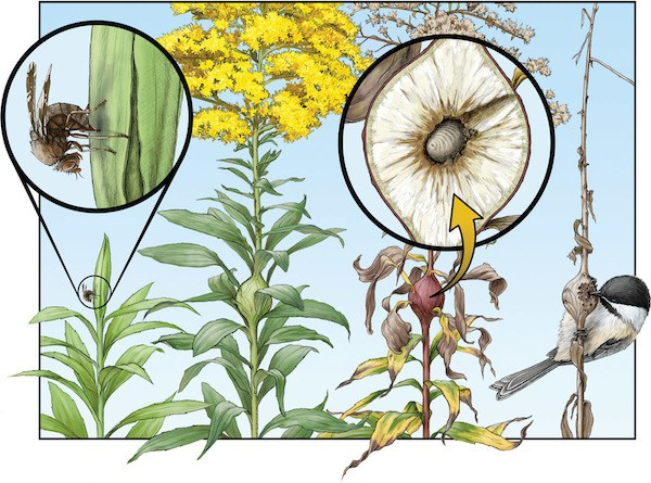 Goldenrod / Gall Fly Life Cycle. Illustration: Emily Damstra