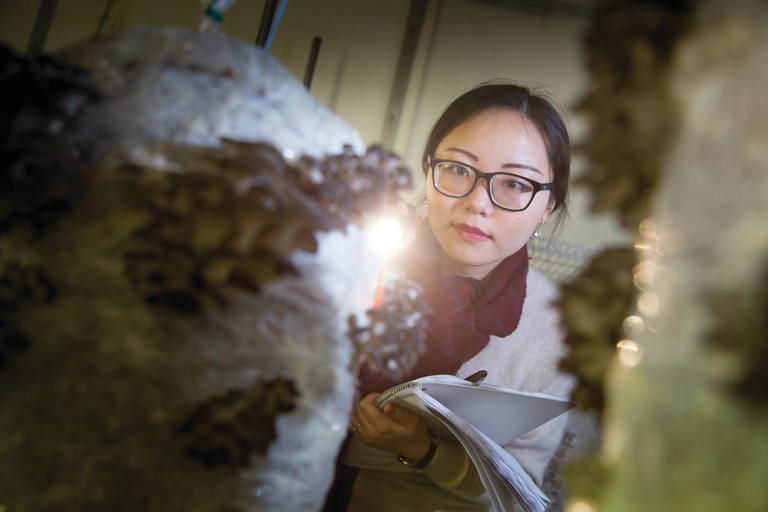 Plant pathology graduate student Siyi Ge examines the progress of oyster mushrooms in the growing room of the new Mushroom Research Center.