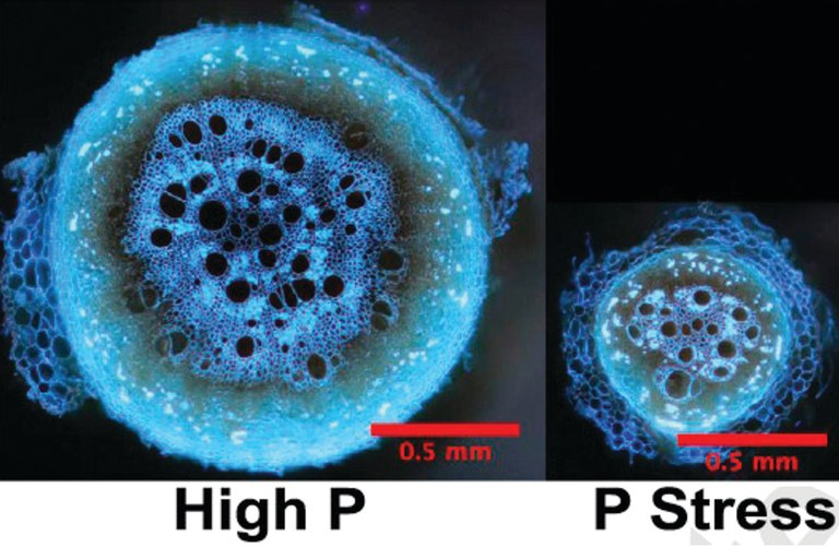 The left panel shows a root cross-section from a plant grown under nonstress conditions. The right panel shows a comparable root from a plant grown under phosphorus-depleted conditions, highlighting how secondary growth of roots is suppressed under phosph