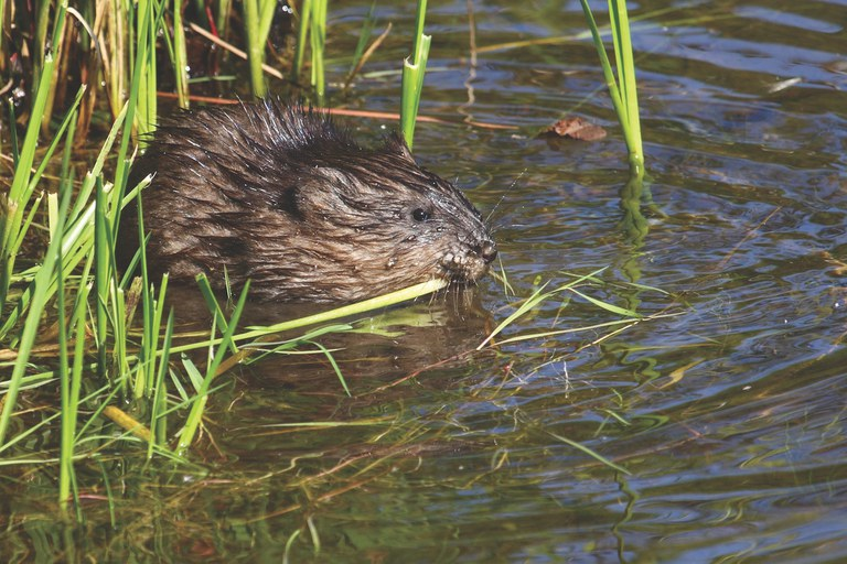 Muskrat. Photo by Bigstock