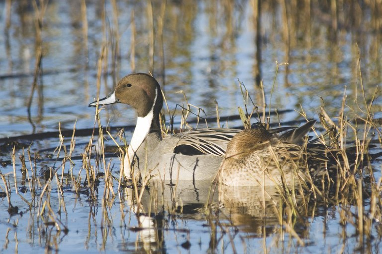 Pintail duck. Photo by Bigstock