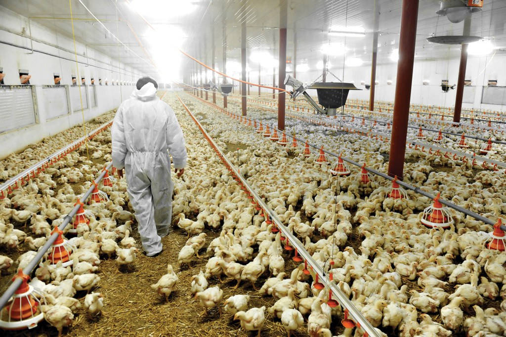 large-bigstock-poultry-farm-and-a-veterinary-53713828-1-.jpg