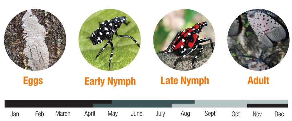 Diagram showing spotted lanternfly lifecycle timeline, and images of stages