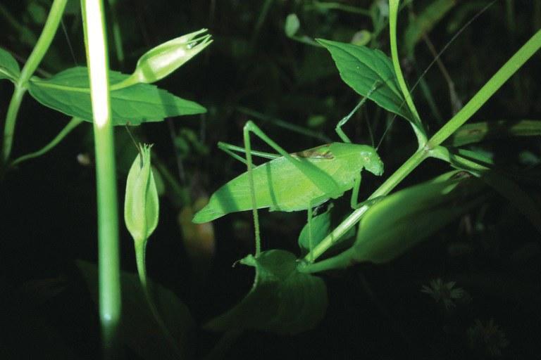 dj-mcneil-rattler-round-winged-katydid.jpg