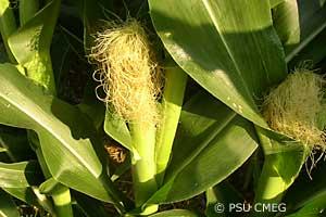 corn ear at silking