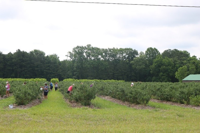Bennett Orchards Pick Your Own Blueberries